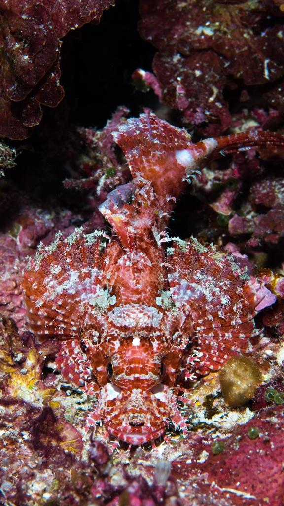 bilikiki-bay-brilliant-red-scorpion-fish