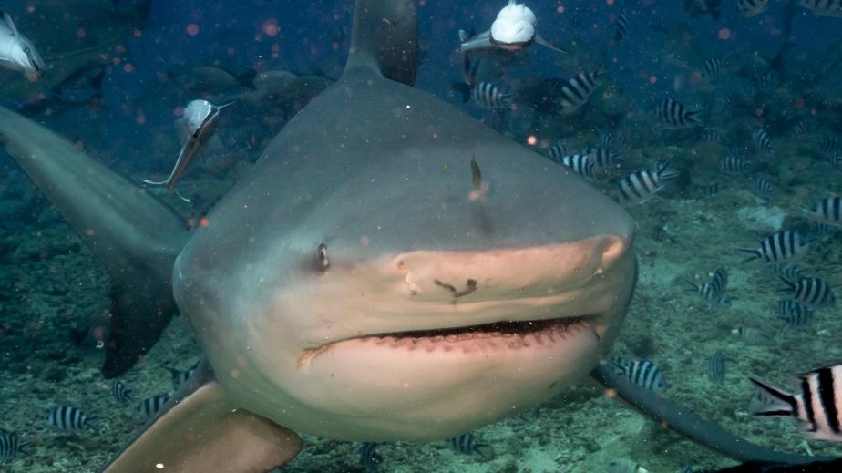 fiji-shark-dive-1-bull-shark-mug-shot