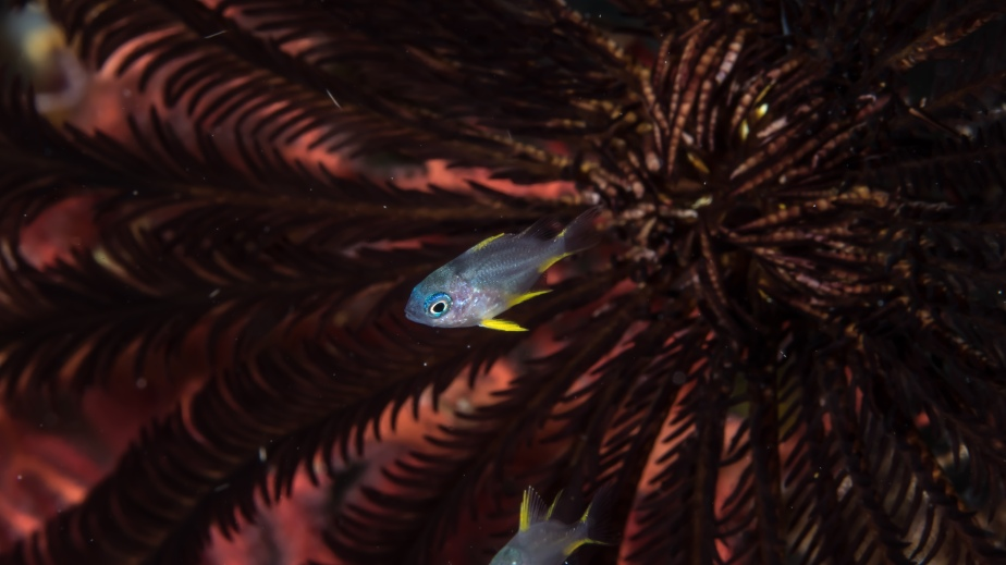 solomons-iridescent-little-cardinalfish